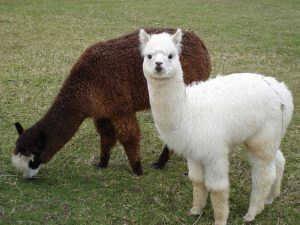 Alpaca Field Shelters